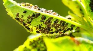 Mszyce - zmora plantatorów papryki