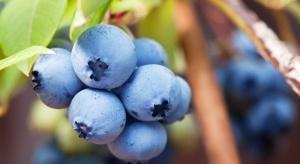 Chile: Producenci borówek oczekują wzrostu eksportu