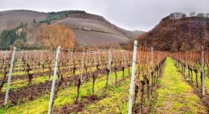 Ochrona winorośli przed zimą. W jaki sposób zabezpieczyć winnice?