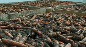 Choroby przechowalnicze marchwi – jak ograniczyć straty?