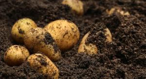 Mniej ziemniaków. Ceny wyższe niż w zeszłym sezonie