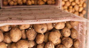 Niemcy ruszyły z eksportem ziemniaków