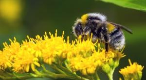 Trzmiele mogą przenosić naturalne pestycydy?