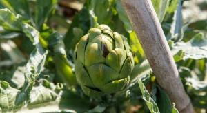 Karczoch zwyczajny - co wpływa na efektywność uprawy tego warzywa?