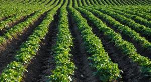 IERiGŻ: Areał uprawy ziemniaków w Polsce wynosi ok. 310 tys. ha