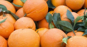 Hiszpania: Produkcja cytrusów w Kordobie o 30 proc. mniejsza niż przed rokiem
