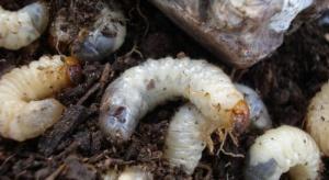 Szkodniki glebowe mogą zagrażać uprawom już w lutym