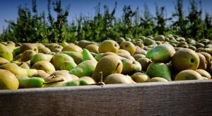 Chiny: Zbiory gruszek będą o 6 proc. większe niż w zeszłym roku