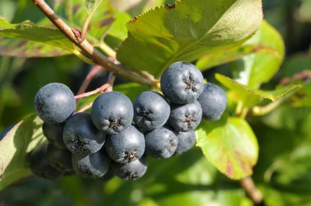 Owoce aronii podbijają zagraniczne rynki