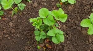 Szkodniki glebowe – zagrożenie na plantacjach truskawek