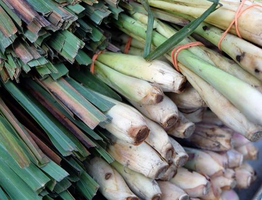 Trawa cytrynowa podbije polski rynek zielarsko-przyprawowy?