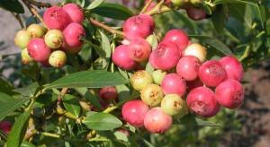 Borówka wysoka o różowych owocach – alternatywa dla znanych odmian?