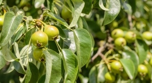 Wzdymacz i podskórnik gruszowy – jak chronić nasadzenia w sadzie?