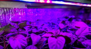 Lampy LED umożliwiają skuteczne doświetlanie rozsady warzyw