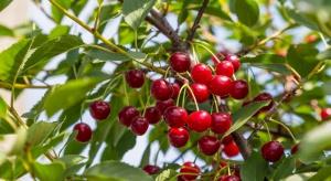 Jak prowadzić sad wiśniowy, aby poprawić opłacalność produkcji?