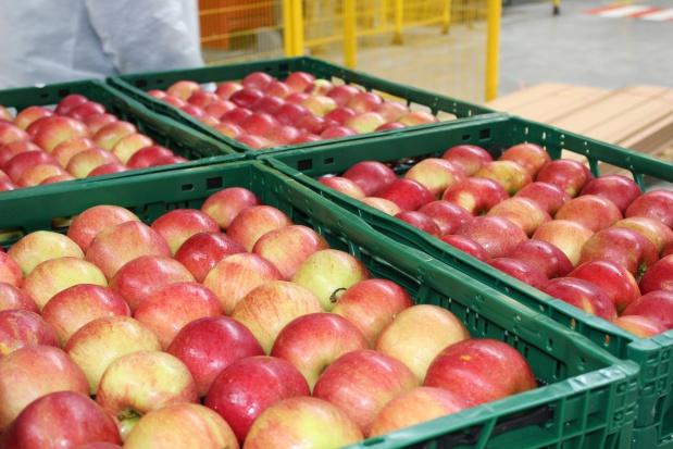 Mazowsze: Ceny jabłek na eksport wahają się między 70-90 gr/kg