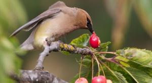 Czy istnieją skuteczne rozwiązania w ochronie czereśni przed ptakami?