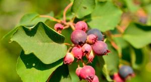 Ekspertka: Powodzenie upraw świdośliwy zależy od adaptacji do naszych warunków klimatycznych