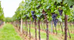 W Jaśle powstaje miejska winnica. Pierwsze wina za trzy lata