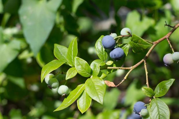 Miseczniki – kolejne zagrożenie dla krzewów borówki wysokiej