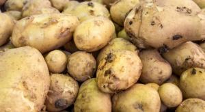 Jakie korzyści wynikają z pobudzania bulw ziemniaka przed sadzeniem?