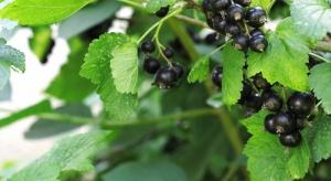 Jak oceniono zdrowotność upraw czarnych porzeczek w ubiegłym sezonie?