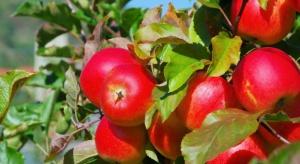 Opolscy i dolnośląscy sadownicy planują nowe nasadzenia jabłoni