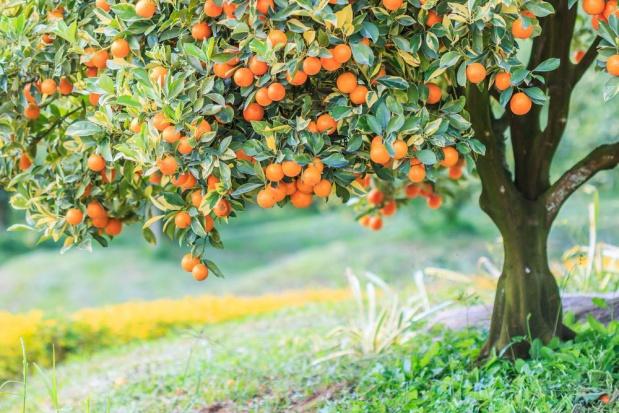 Włosi odchodzą od upraw cytrusów. Winne - masowy import i niskie ceny
