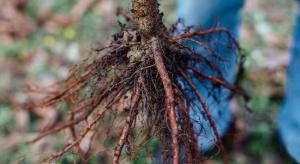 Agrobacterium arsenijevicii – kolejny sprawca guzowatości korzeni
