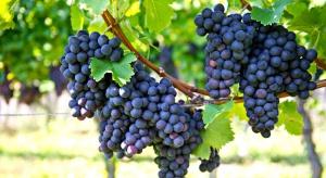 Codzienna porcja świeżych winogron zmniejsza ryzyko utraty wzroku