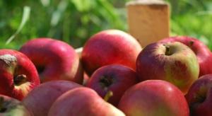 Darmowe jabłka rujnują sądeckich sadowników