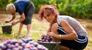 Polacy chętnie wyjeżdżają do Holandii aby pracować w ogrodnictwie i rolnictwie