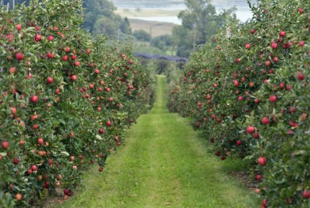 Dr Grzegorz Klimek o opłacalności produkcji jabłek w Polsce