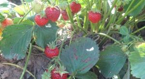 Biała plamistość liści truskawki - jak chronić plantacje?