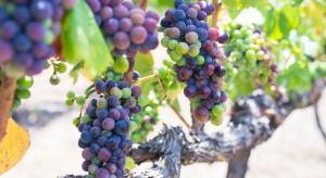 Wzrasta produkcja wina mimo spadku światowej powierzchni winnic