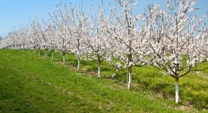 Ochrona wiśni przed brunatną zgnilizną drzew pestkowych