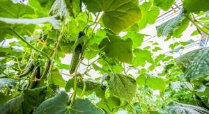 Choroby wirusowe ogórka - zagrożenie dla upraw pod osłonami