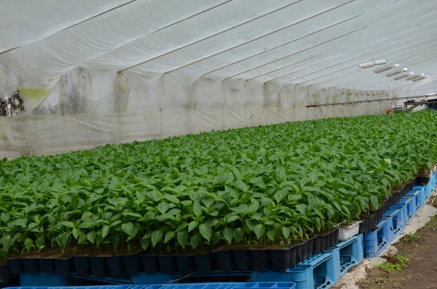 ZPPRP: Produkcja warzyw pod osłonami nie ma wsparcia nauki