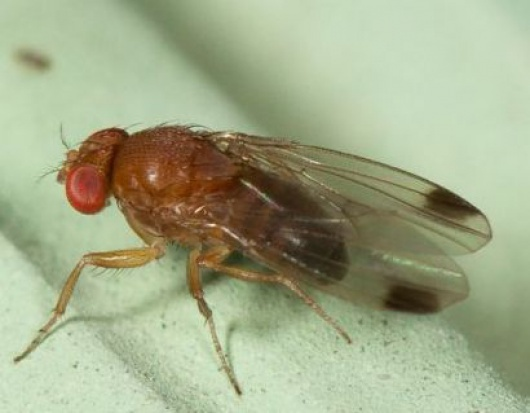 Ochrona roślin jagodowych przed Drosophila suzukii