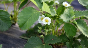 Konieczna ochrona upraw truskawek przed kwieciakiem malinowcem