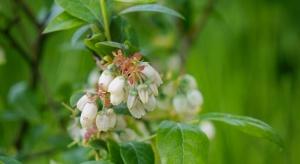Zabiegi ochronne na plantacjach borówki w okresie kwitnienia