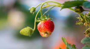 Problem odporności na fenpiroksymat w ochronie roślin jagodowych?