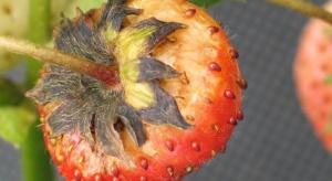 Ochrona polowych plantacji truskawki przed szarą pleśnią