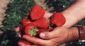 Lekarze ostrzegają zbieraczy truskawek przed uszkodzeniem nerwustrzałkowego