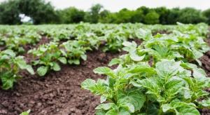 Uwaga na mszyce w uprawach ziemniaka!