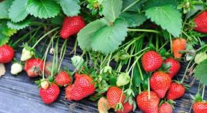 GUS: Sprzyjające warunki dalszej wegetacji zapewnią dobre zbiory truskawek