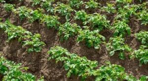Mocznik i siarczan magnezu – dolistne dokarmianie ziemniaków