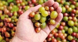 Brak popytu na owoce agrestu. Przetwórcy nie chcą polskich odmian