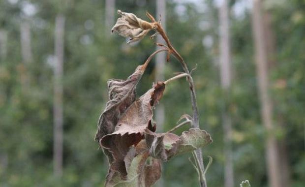 Uwaga na zarazę ogniową w sadach jabłoniowych i gruszowych