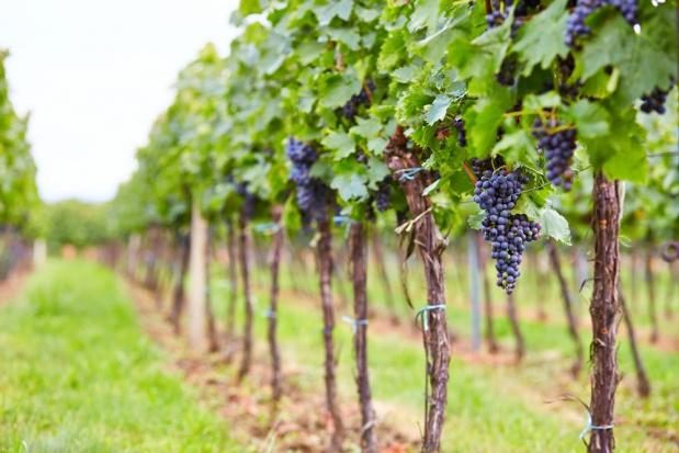 Przybywa upraw i producentów wina w Polsce